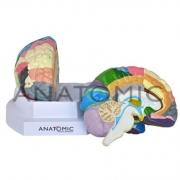 Cérebro Colorido com Região Funcional em 2 Partes - ANATOMIC - Cód: TZJ-0303-F