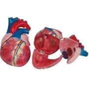 Coração Humano Gigante 3 Partes COLEMAN - Cód: COL 1307