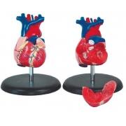 Coração Humano Tamanho Natural 2 Partes - COLEMAN - Cód: COL 1307-A