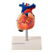 Coração Tamanho Natural em 2 Partes - ANATOMIC - Cód: TGD-0322