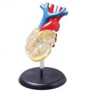 Coração Transparente 2 Partes COLEMAN - COL 3307