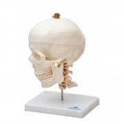Crânio c/ mandíbula móvel e coluna cervical - Sdorf - Cod: SD-5008