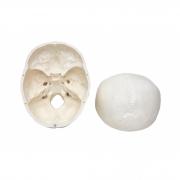 Crânio c/ Mandíbula Móvel em 3 Partes - Sdorf - Cod: SD-5006
