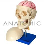 Crânio com Coluna Cervical e Cérebro - ANATOMIC - Cód: TGD-0103-F