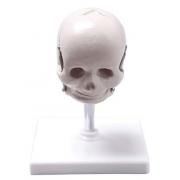 Crânio Fetal COLEMAN -  Cód: COL 1104-F
