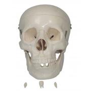 Crânio Tamanho Natural 3 Partes - COLEMAN - Cód: COL 1104