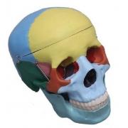 Crânio Tamanho Natural Colorido 3 Partes - COLEMAN - Cód: COL 1104-C