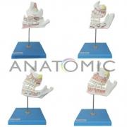 Desenvolvimento da Dentição com 4 Peças - ANATOMIC - Cód: TZJ-0313-D