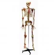 Esqueleto Aprox. 168 cm Articulado e Muscular - ANATOMIC - Cód: TGD-0101-A