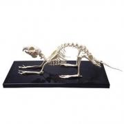 Esqueleto de Coelho COLEMAN - COL 3652