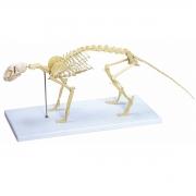 Esqueleto de Gato - ANATOMIC - Cód: TGD-0602