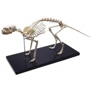 Esqueleto de Gato COLEMAN - Cód: COL 3653