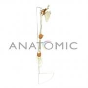 Esqueleto de Membro Superior com Articulações e Suporte ANATOMIC - Cód: TGD-0156-A