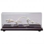 Esqueleto de Rato COLEMAN - COL 3656
