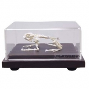 Esqueleto de Sapo COLEMAN - COL 3657