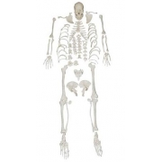 Esqueleto Desarticulado COLEMAN - COL 1130