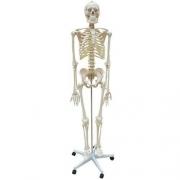 Esqueleto Flexível Aprox. 168cm com Suporte ANATOMIC - Cód: TGD-0101-B