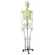 Esqueleto Humano 170cm Com Rodas COLEMAN - COL 1101