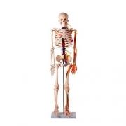 Esqueleto Humano 85cm Com Nervos e Veias - ANATOMIC - Cód: TGD-0112-C