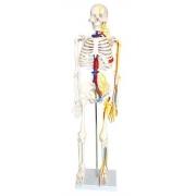 Esqueleto Humano 85cm Com Nervos e Veias COLEMAN - COL 1102-B