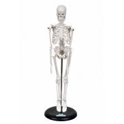 Esqueleto Humano de 45 cm C/ Suporte - SDORF - Cód: SD-5002/B