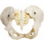 Esqueleto Pélvico Feminino - ANATOMIC - Cód: TGD-0169-B