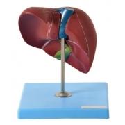 Fígado Básico - ANATOMIC - Cód: TZJ-0324-A