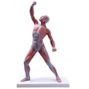 Figura Muscular 50cm COLEMAN - COL 3702