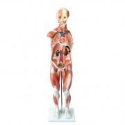 Figura Muscular Assexuada 85cm c/ 27 Partes COLEMAN - Cód: COL 1334
