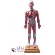 Figura Muscular Assexuada 85cm c/ Órgãos - COLEMAN - COL 3701
