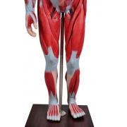 Figura Muscular de 1,70 cm C/ Órgãos Internos em 29 Partes - SDORF - Cod: SD-5026