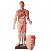 Manequim Muscular de 170 cm Masculino com Órgãos Internos em 32 Partes - ANATOMIC - Cód: TZJ-4001-A