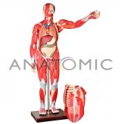 Manequim Muscular de 170cm Assexuado com Órgãos Internos em 30 Partes - ANATOMIC - Cód: TZJ-4000-A