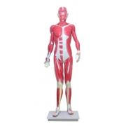 Manequim Muscular de 170cm, Assexuado, em 33 Partes - ANATOMIC - Cód: TGD-4000
