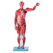 Manequim Muscular de 78 cm Assexuado com Órgãos Internos em 27 Partes - ANATOMIC - Cód: TZJ-4000-B