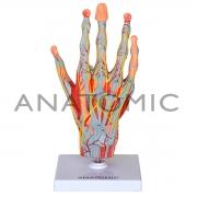 Mão Muscular com Principais Nervos e Vasos, em 5 Partes - ANATOMIC - Cód: TZJ-0330-M