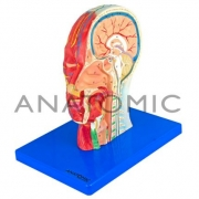 Metade da Cabeça com Musculatura e Corte Mediano ANATOMIC - Cód: TZJ-0304