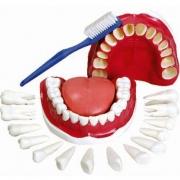 Modelo de Dentição com Todos Os Dentes Removíveis - ANATOMIC - Cód: TGD-0312-C