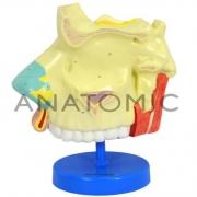 Modelo de Nariz Ampliado - ANATOMIC - Cód: TZJ-0310-A