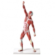 Modelo Muscular de 50cm - ANATOMIC - Cód: TZJ-4005