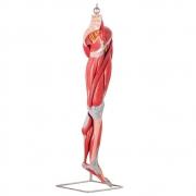 Músculos do Membro Inferior C/ Principais Vasos e Nervos em 10 Partes - ANATOMIC - Cód: TZJ-4020-A