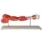 Músculos do Membro Superior - ANATOMIC - Cód: TGD-4010