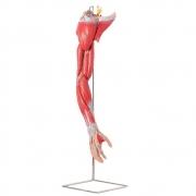 Músculos do Membro Superior C/ Principais Vasos e Nervos em 6 Partes - ANATOMIC - Cód: TZJ-4010-A
