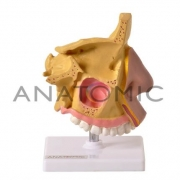 Nariz com Arcada Dentária Superior - ANATOMIC - Cód: TGD-0310