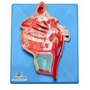 Nervos e Vasos Sanguíneos da Face - Sdorf - Cód: SD-5101