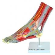 Pé Muscular com Principais Vasos e Nervos, em 9 Partes - ANATOMIC - Cód: TZJ-0330-P