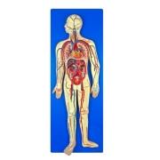 Sistema Circulatório - ANATOMIC - Cód: TZJ-0328-D