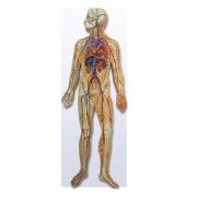 Sistema Circulatório COLEMAN - COL 3806