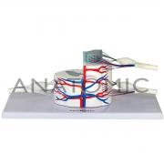 Sistema da Medula Espinhal Ampliado - ANATOMIC - Cód: TGD-0330-E