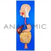 Sistema Digestório em Placa - ANATOMIC - Cód: TZJ-0328-A